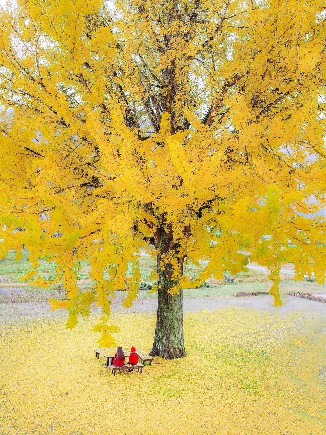 約束の黄色の絨毯